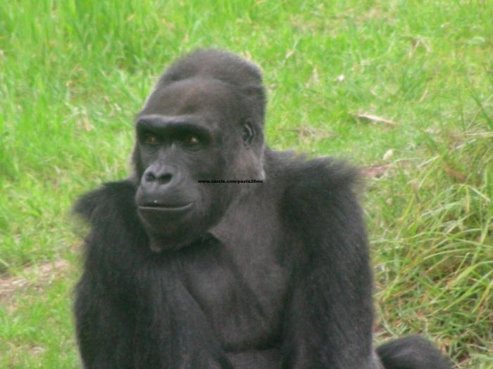 073 gorillas 014