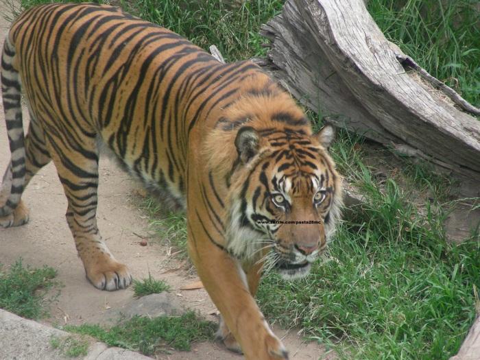 074 tiger 008