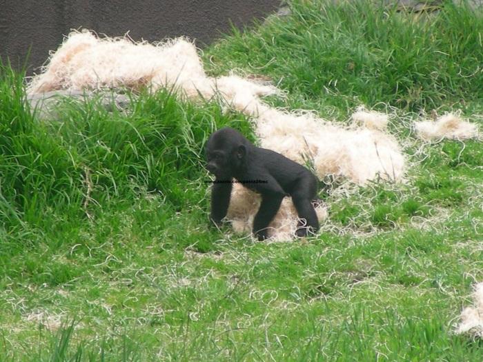 075 baby gorilla 012