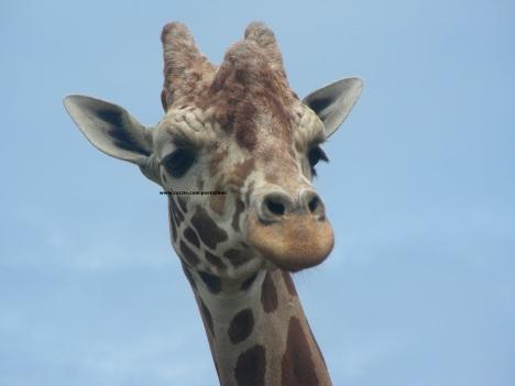 076 giraffes 011