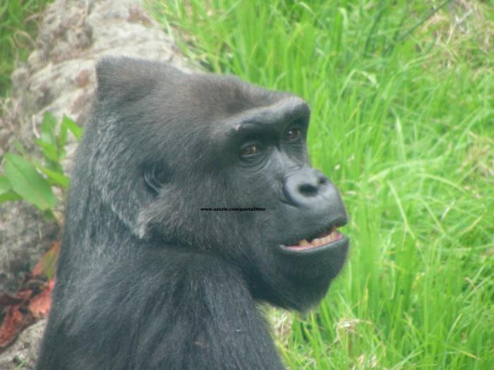 077 gorillas 015