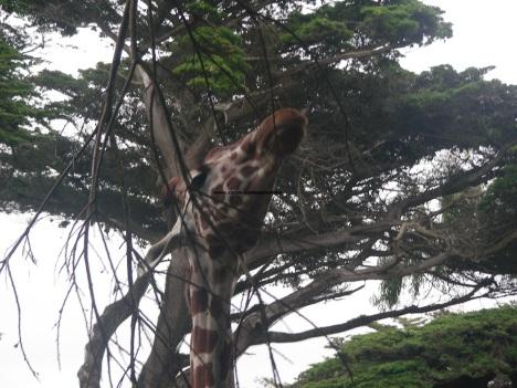 079 giraffes 012