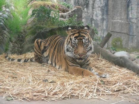 080 tiger 009