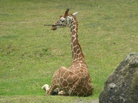 052 giraffes 007