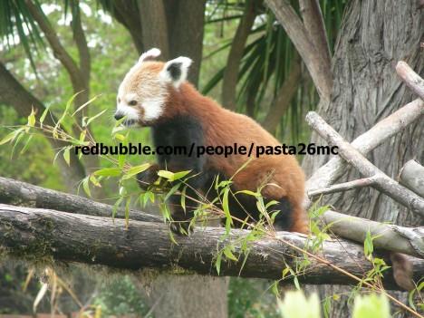 A003 red panda 001 wm