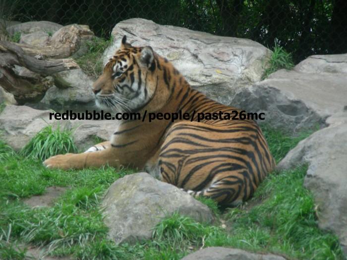 A004 tiger 001 wm