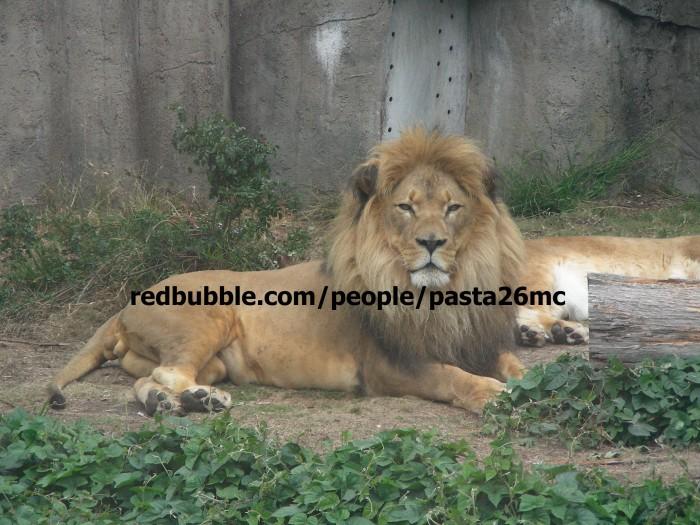 A007 lions 001 wm