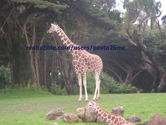 A011 giraffes 002 wm