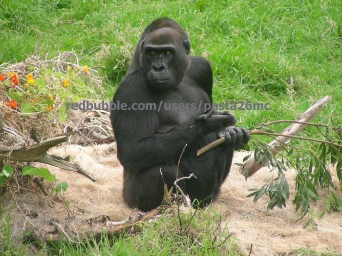 A013 gorillas 002 wm