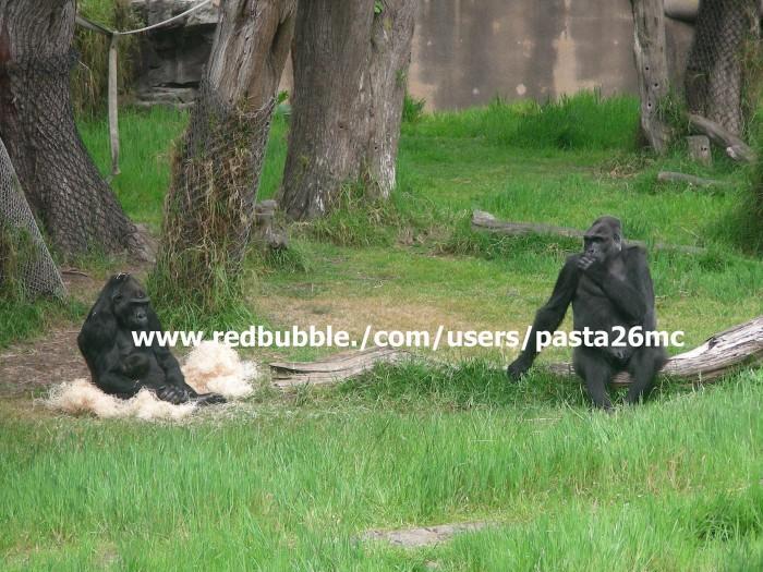 A017 baby gorilla 002 wm