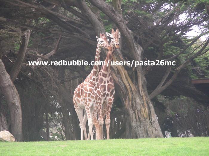 A018 giraffes 003 wm