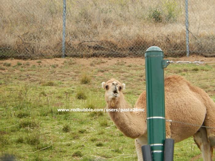 A019 camel 001 wm
