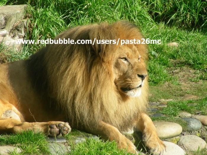 A021 lions 002 wm