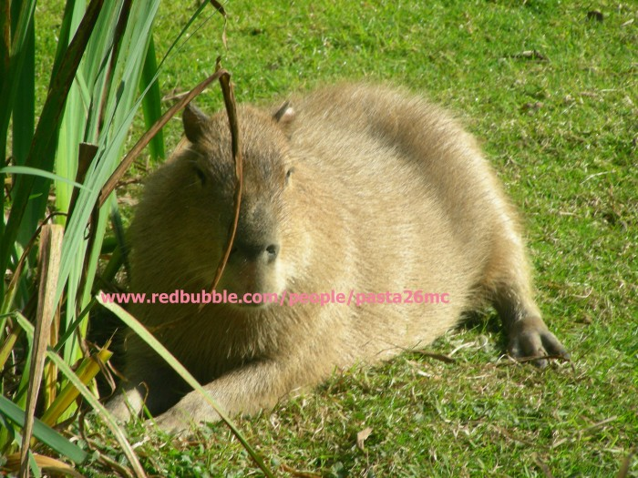 A025 capybara 001 wm