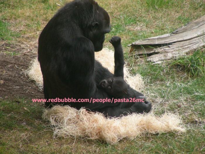 A026 baby gorilla 003 wm