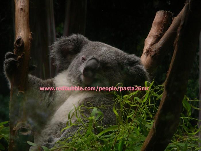 A027 koala 001 wm