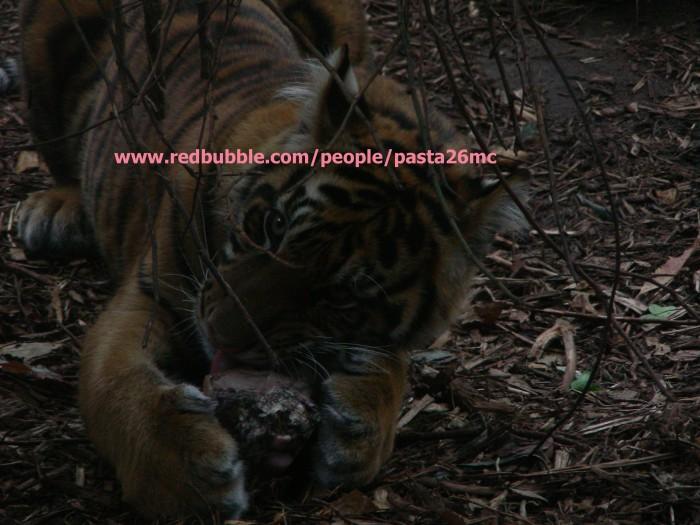 A028 tiger 002 wm