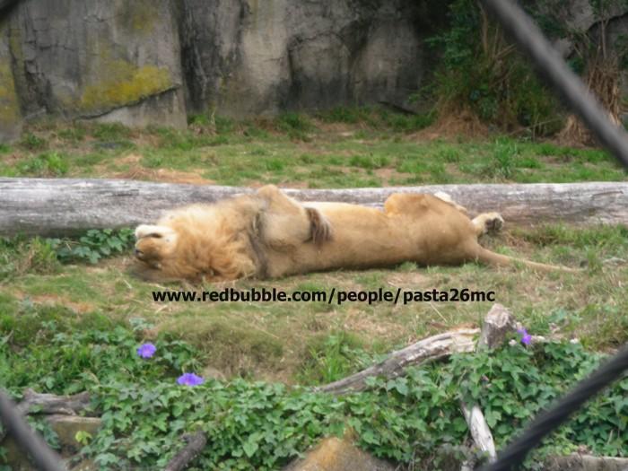 A030 lions 003 wm