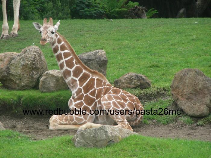 A032 giraffes 005 wm