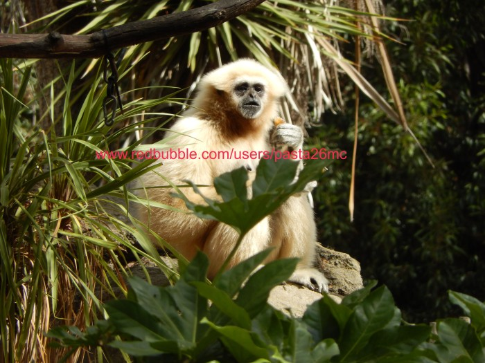 A033 white handed gibbon 001 wm
