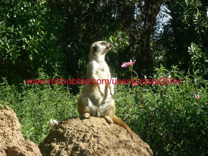 A035 meerkat 001 wm