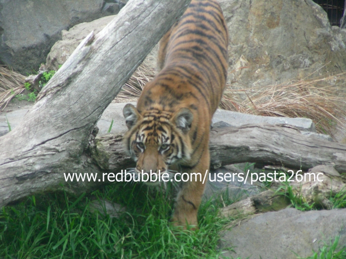 A038 tiger 003 wm