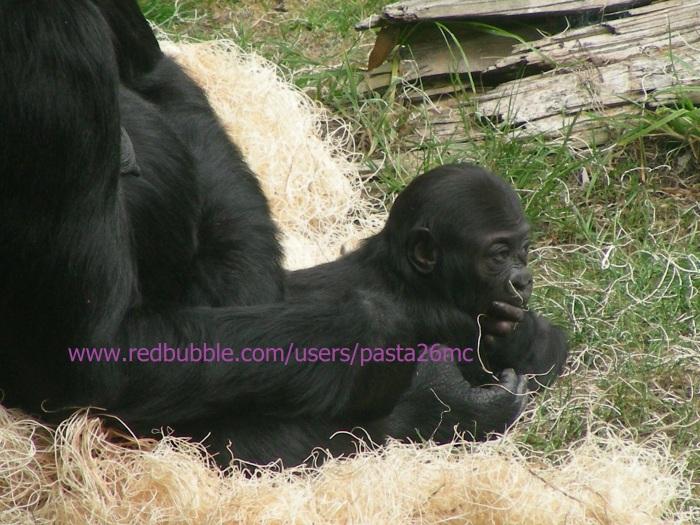 A039 baby gorilla 004 wm